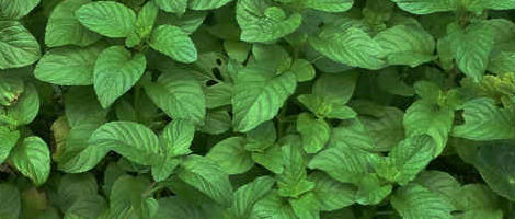 Chocolate-Mint-Plant